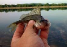 Ёрш. Знакомство с рыбой. Способы ловли ёрша