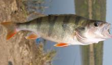 Лучшие приманки для ловли окуней в водоемах с проточной водой